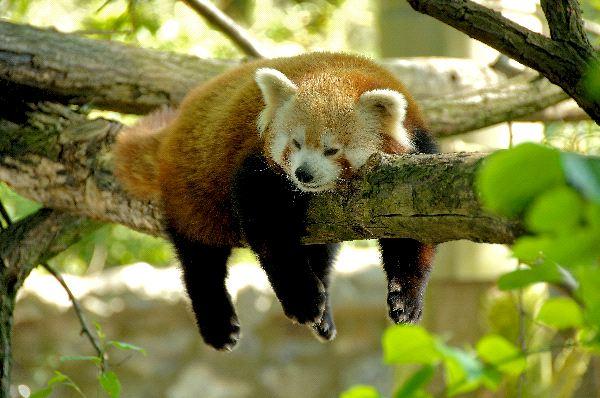 Rad_Panda_Resting_600